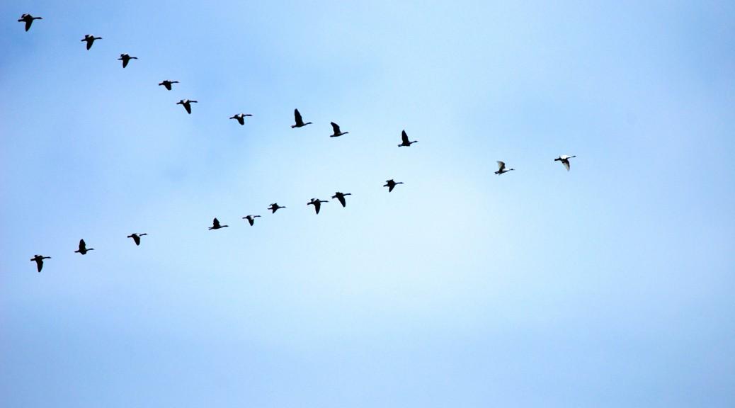 Zugvögelschwarm